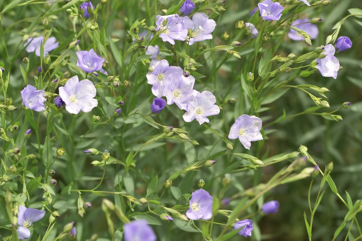 Quelle Est Cette Fleur Bleue Qui Habille Les Cotes Normandes
