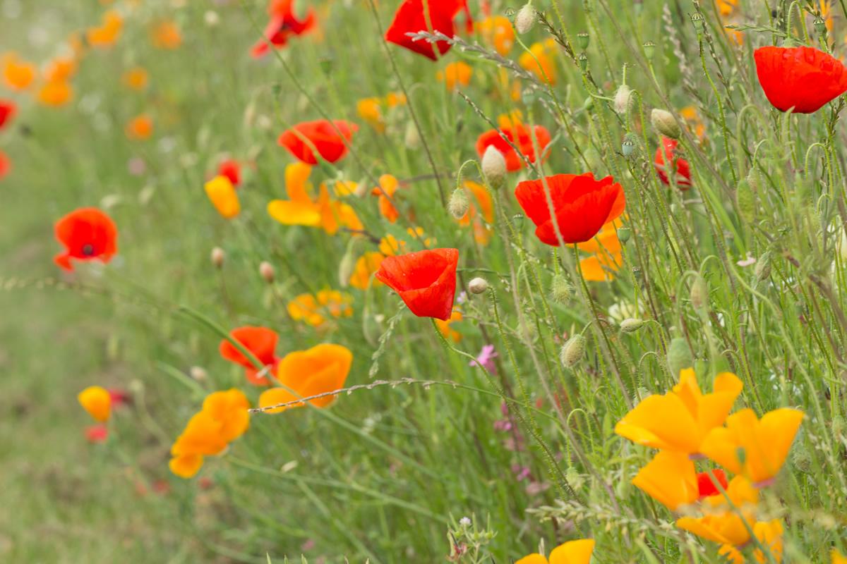 Les prairies fleuries jolies certes mais surtout utiles - Fleur de jachere ...