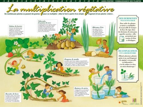 La multiplication v g tative for Commander des plantes