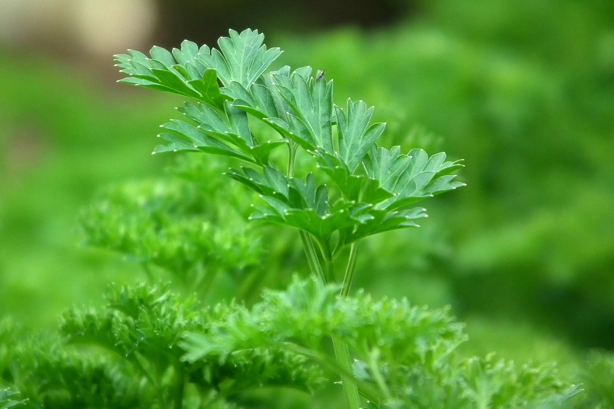Plantes aromatiques du go t et des vertus for Plantes aromatiques